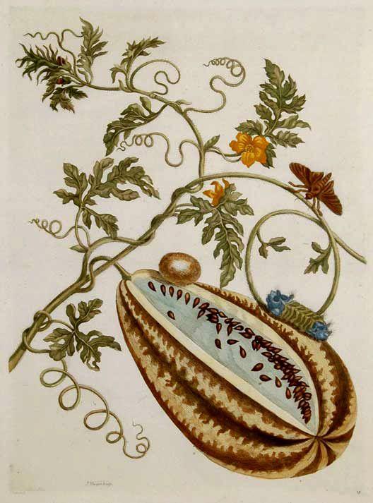 Maria Sibylla Merian - Watermelon - 1730. From VERANDERINGEN DER SURINAMAMSCHE INSECTEN (Metamorphasibus Insectorum Surinamensis)