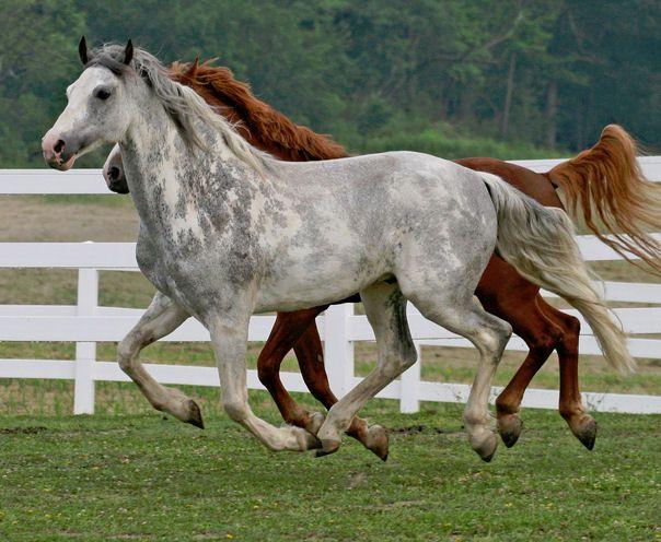 Sabino going grey,Whitehorseproductions