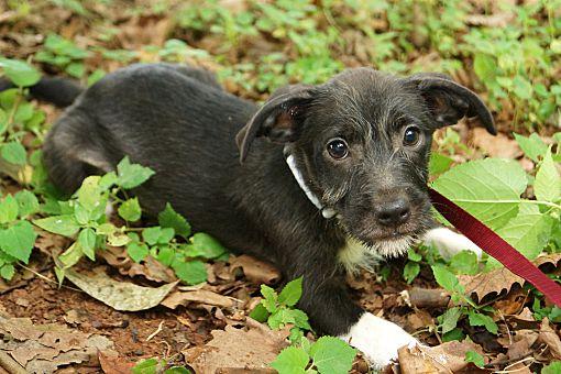 Newark, DE - Schnauzer (Miniature). Meet Frankie a Pet for ...