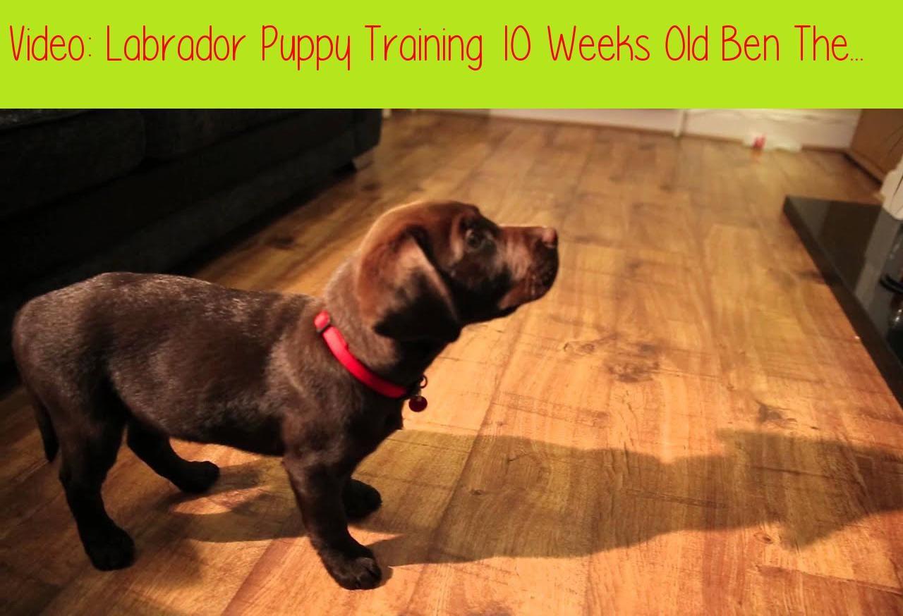 Labrador Puppy Training 10 Weeks Old Ben The Chocolate
