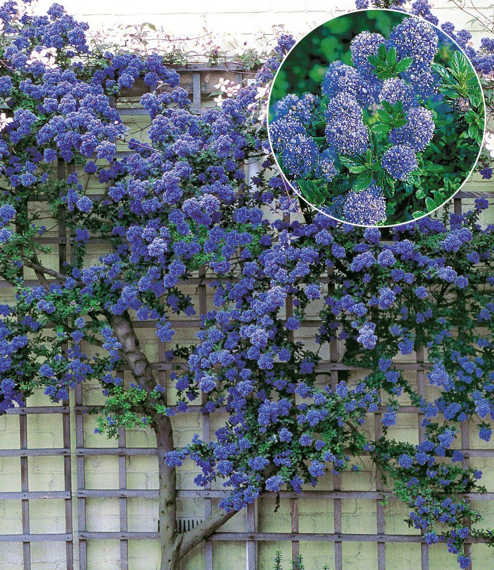 """Ceanothus Trewithen Blue 350cm hoch im Frühling dürre """"ste und"""