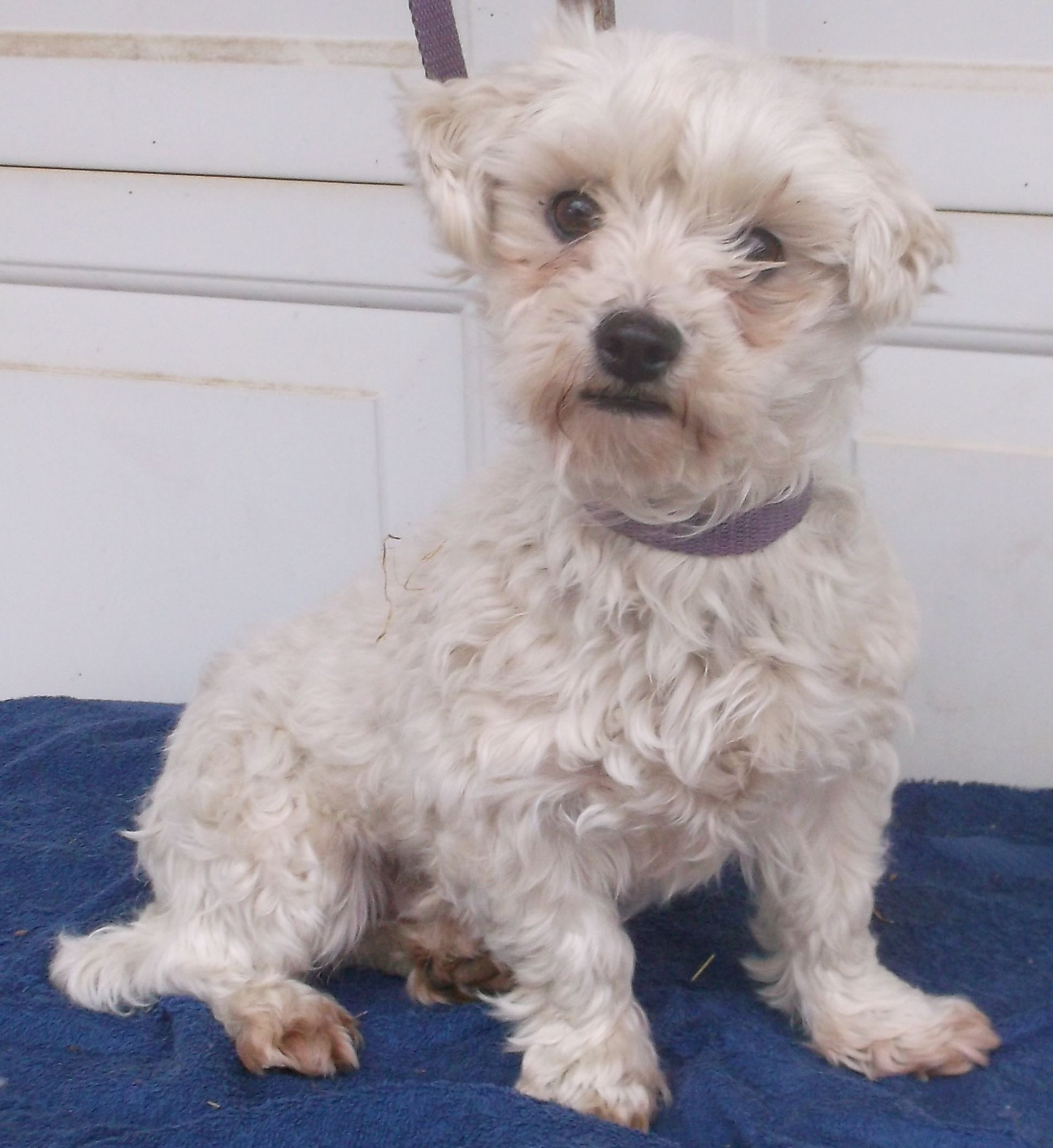 Maltese Dog For Adoption In Birch Tree Mo Adn 746111 On