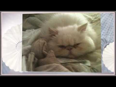 Flat Nose Cat Flat Face Persian Kitten White Persian Cat Blue Eyes W Persian Cat White Persian Kittens Persian Cat