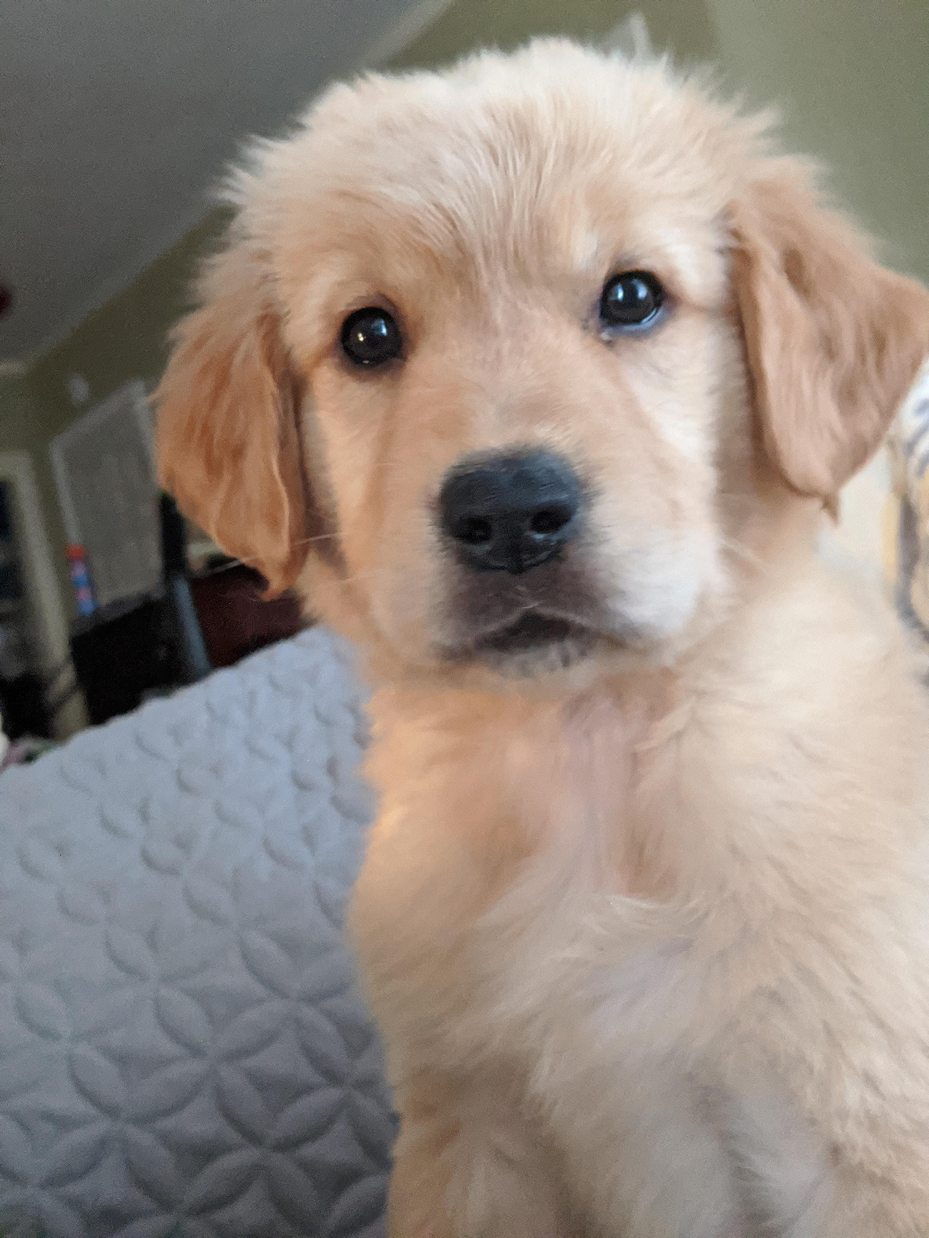 Valentines Day Puppy Meet Delta Goldenretrievers In 2020