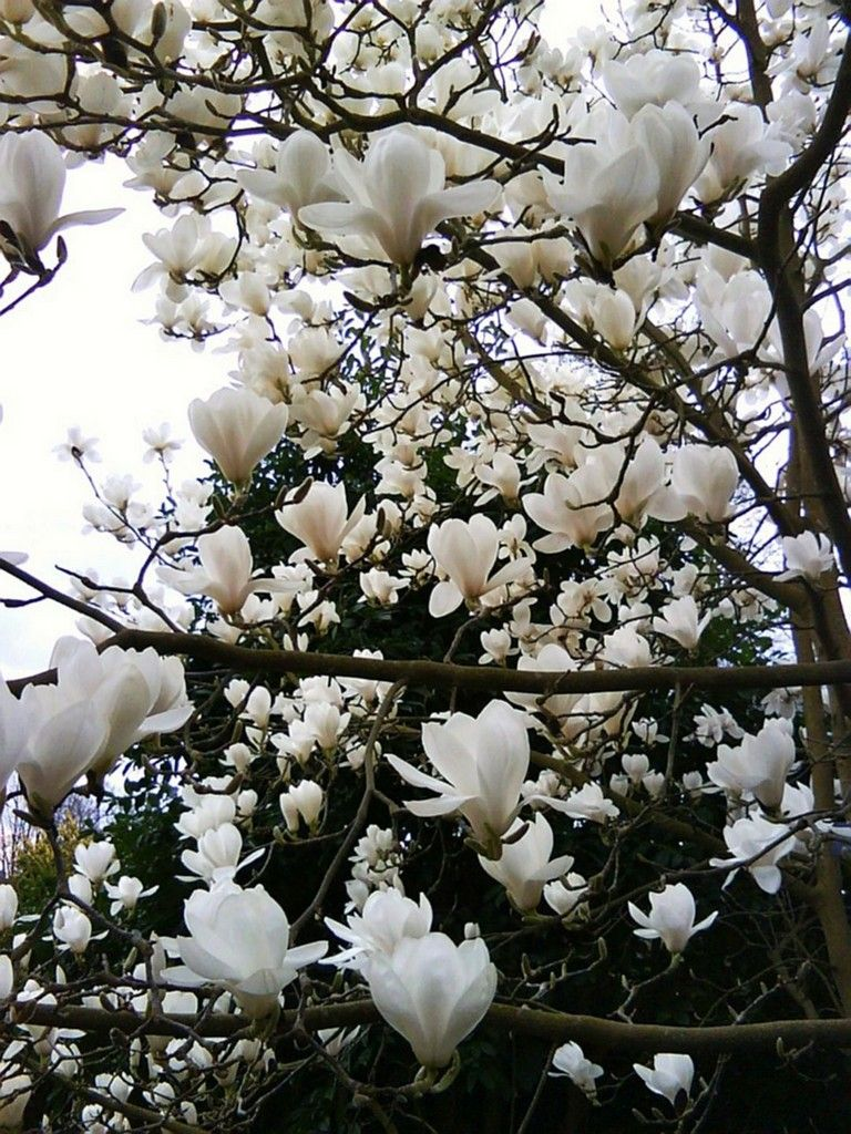 63 Lovely Flowering Tree Ideas For Your Home Yard Flowering Trees Magnolia Trees White Magnolia Tree