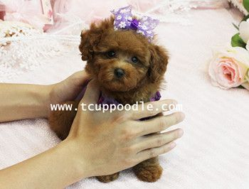 Beautiful Toy Teacup Poodle Puppies Global Express No 115 Http