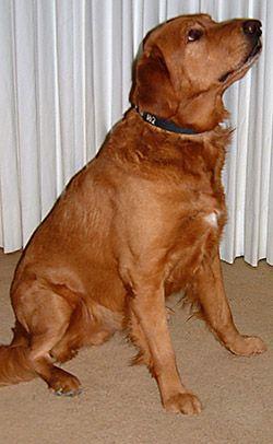 Pin By Madison Midas On Puppies Red Labrador Labrador Retriever