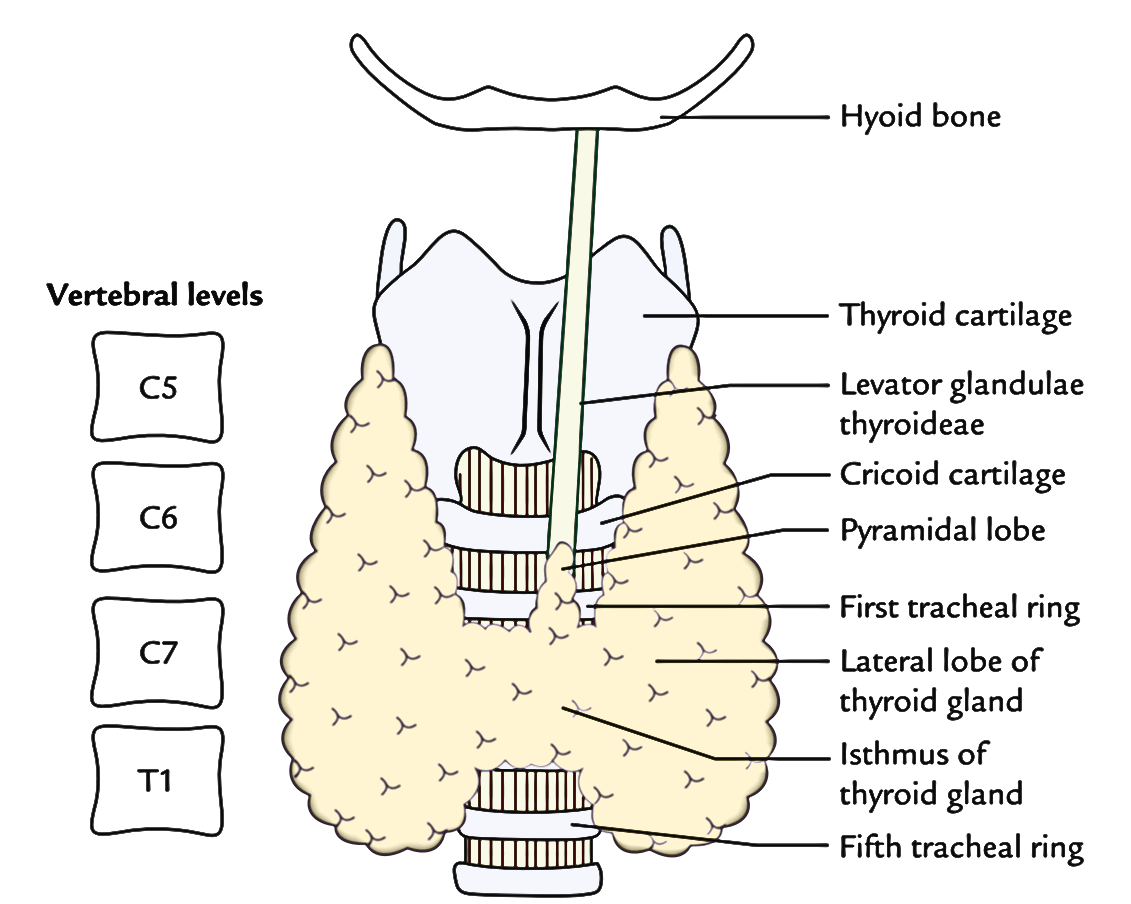 Pin By Janine On Others Thyroid Gland Gland Thyroid