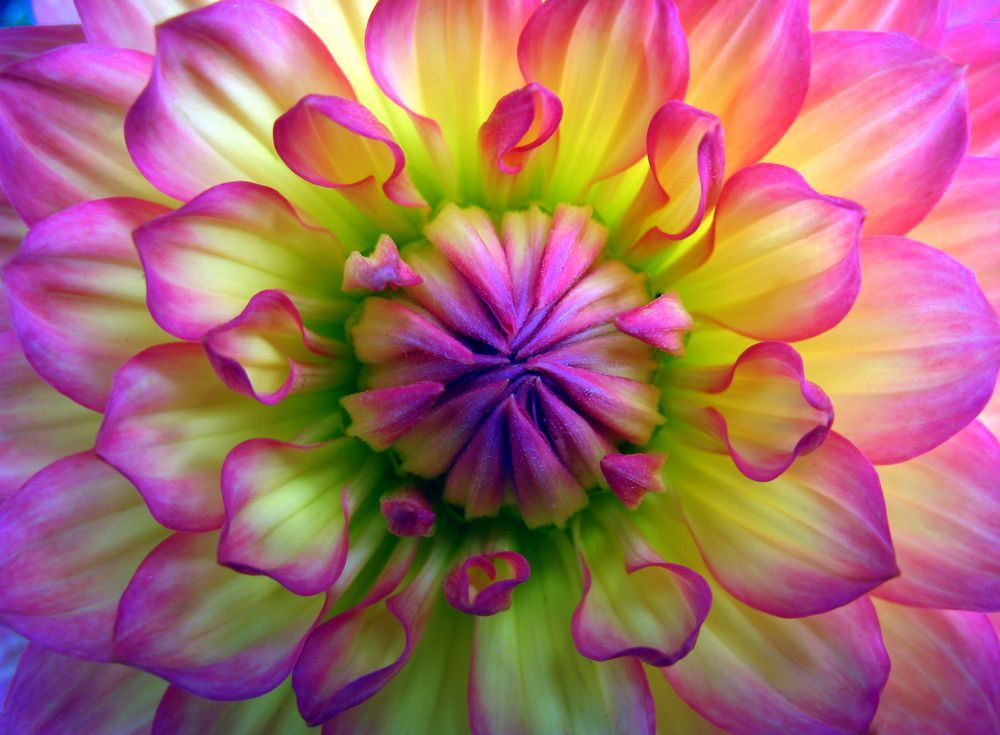 Dahlia Pink Photo by Robyn Gael Ellsworth National
