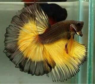 Beautiful Display Betta Fish Betta Tropical Fish