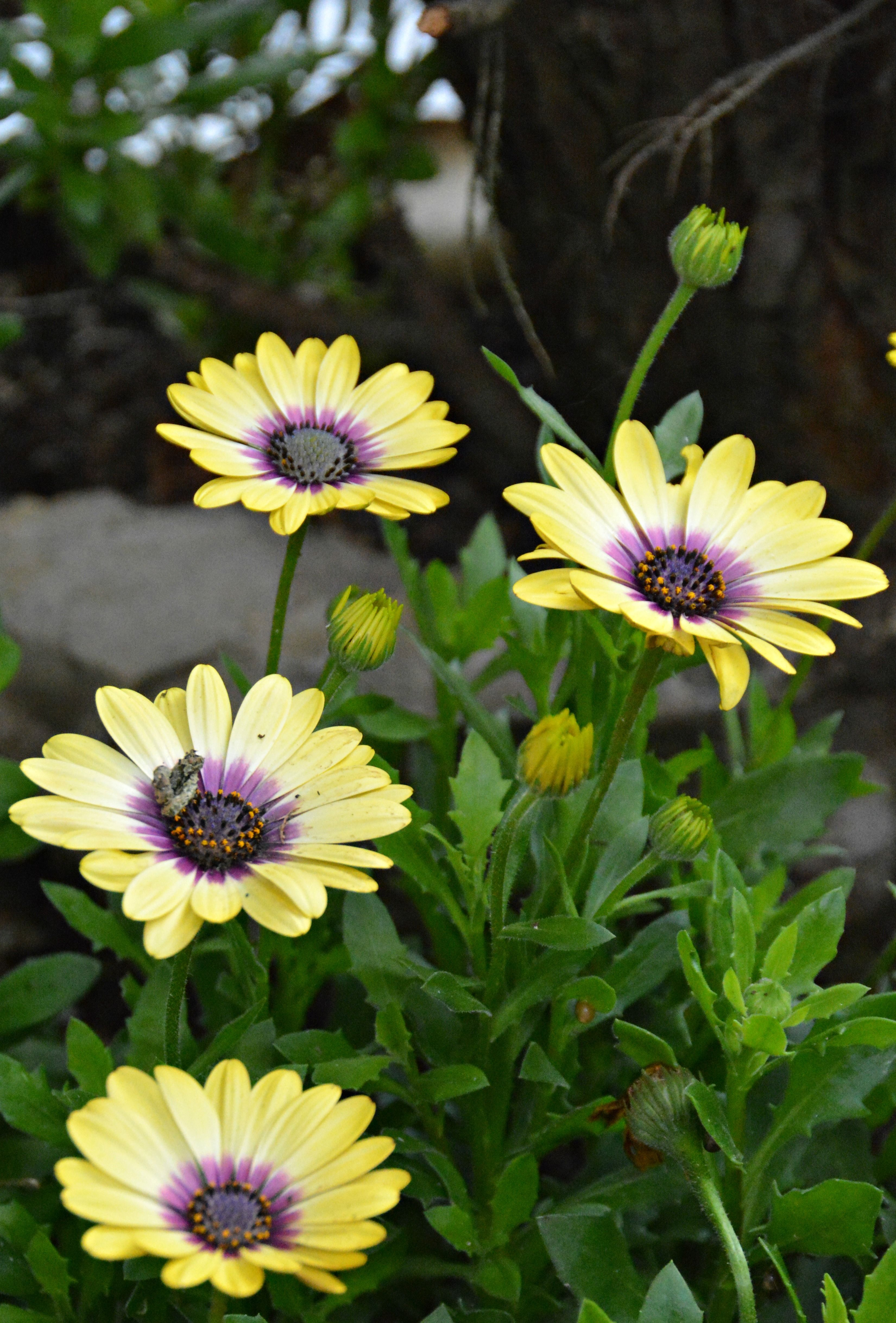Osteospermum Yellow In My Garden Wil 3436 Flower Names A To Z