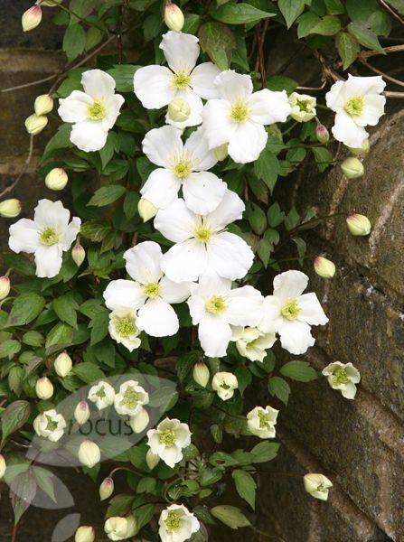 montana var. 'grandiflora'.  A vigorous climber that spreads quickly.  Has a light scent.Clematis montana var. 'grandiflora'.  A vigorous climber that spreads quickly.  Has a light scent.