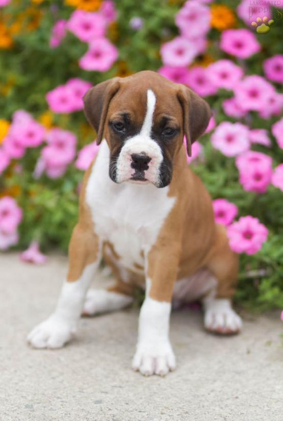 Cutencuddly Mansbestfriend Puppylove Boxer Boxerlove Buckeyepuppies Loyal Www Buckeyepuppies Com Boxer Puppies For Sale Boxer Puppies Puppies For Sale
