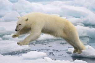 Los contaminantes 'acorralan' al oso polar
