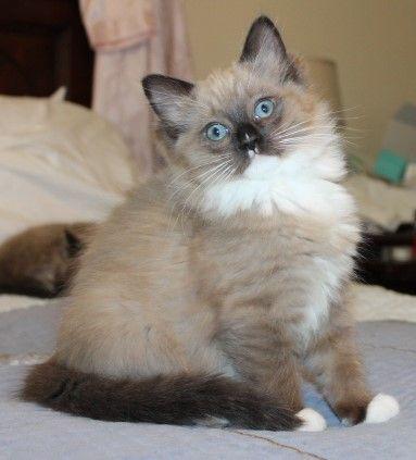 Ragdoll Kittens For Sale Moonrise Ragdolls