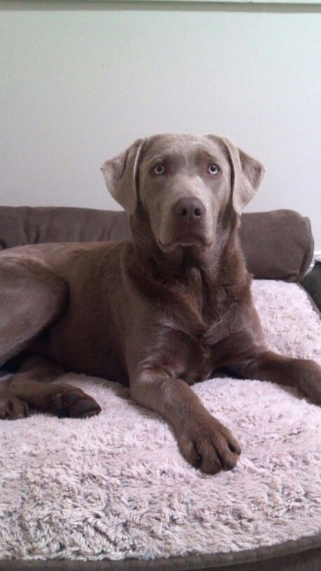 Silver Shadow 7 Months Dog Love Labrador I Love Dogs