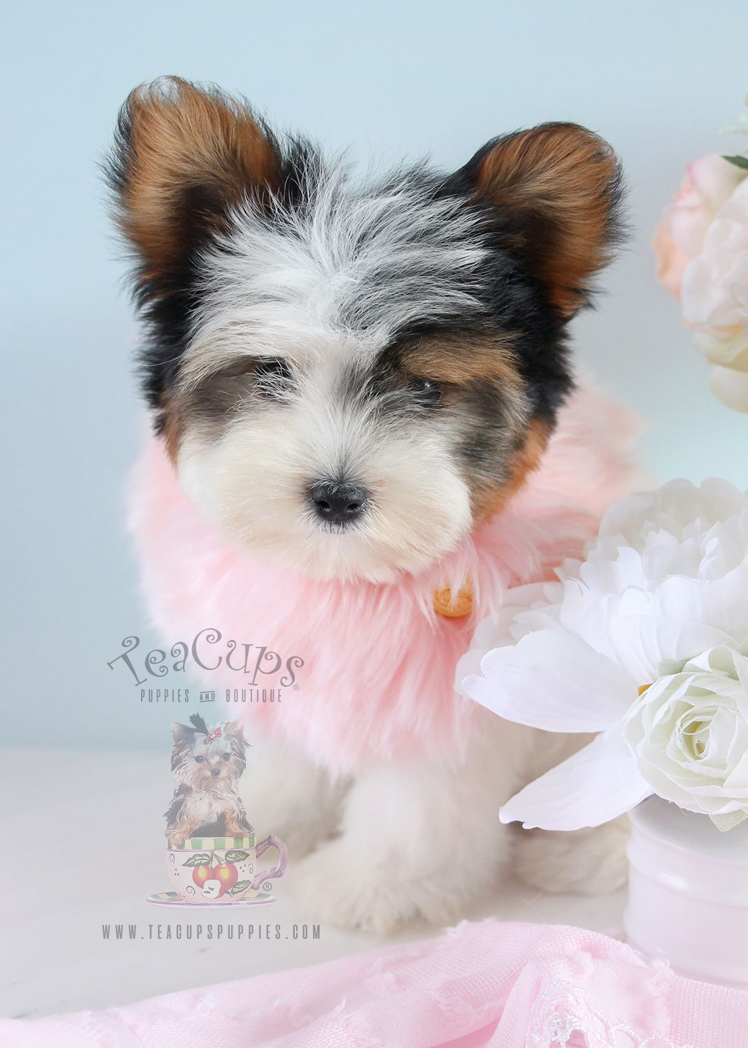 Tri Color Yorkie Puppy Yorkie Puppy Yorkie Puppy For Sale
