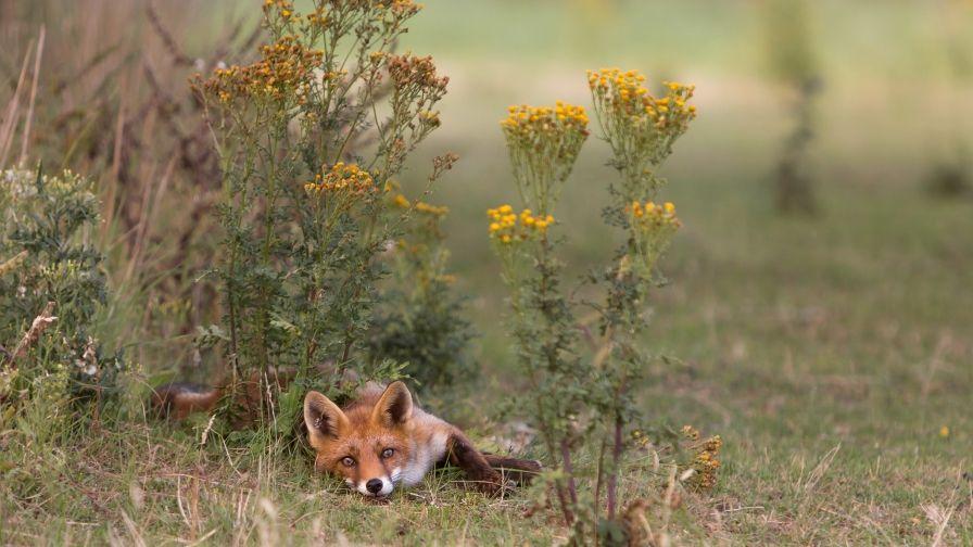 Beautiful Fox Summer Hd Wallpapers Download Pet Fox Animal Wallpaper Fox