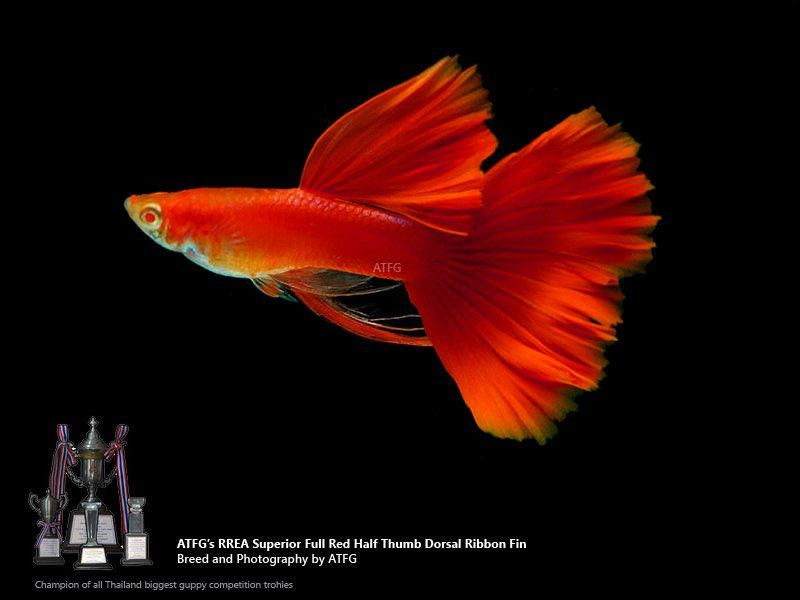 Atfg S Rrea Superior Full Red Ribbon Fin Pair Guppy Fish Guppy Fish