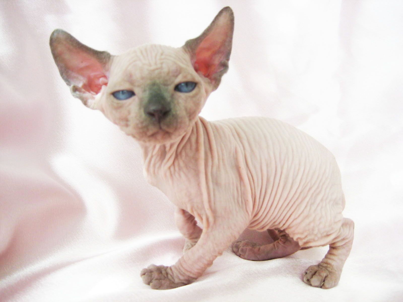 Bambino and Sphynx World - Past Kittens' Gallary.  And I shall call you Wrinkles McStinkles! <3 <3 <3