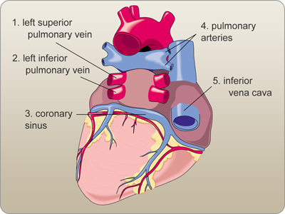 Labeled diagram of the heart posterior view medical coding board labeled diagram of the heart posterior view ccuart Images