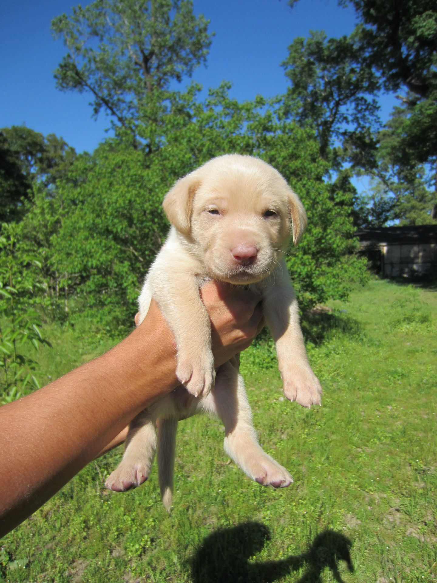 Champagne Labrador Puppies for Sale, Our Lyrical Labs