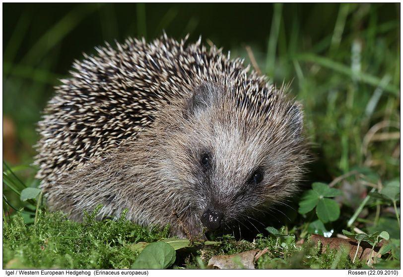 Western European Hedgehog Mensch die waren dauernd in meinem Garten, und sie haben mein Hund verrückt gemacht !