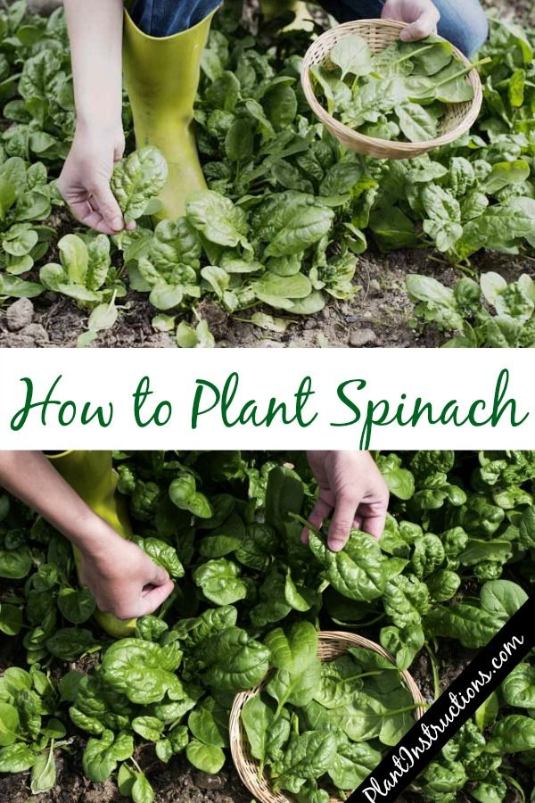 How To Plant Spinach Planting Spinach Vegetable Garden Tips Growing Carrots