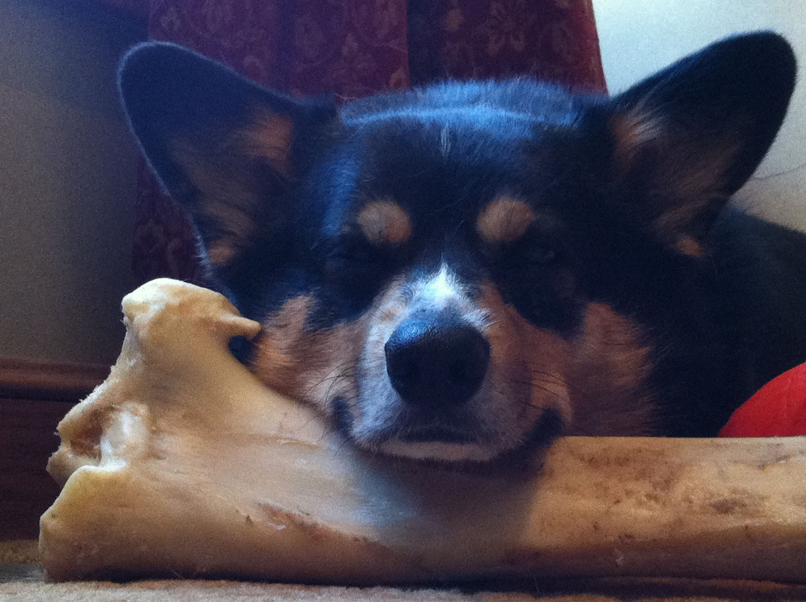 This bone is as big as him.....