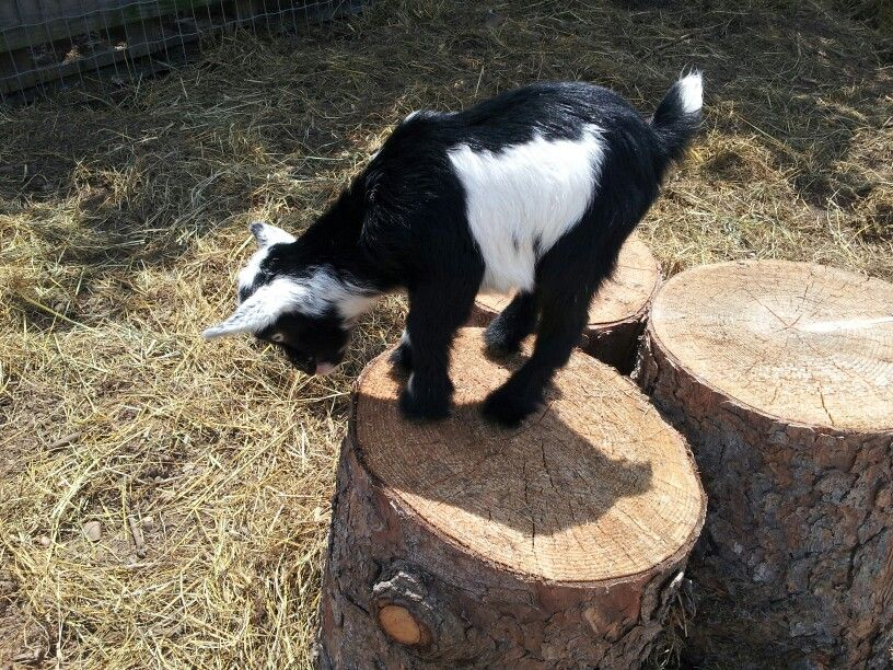 New ND doeling Animals, Goats