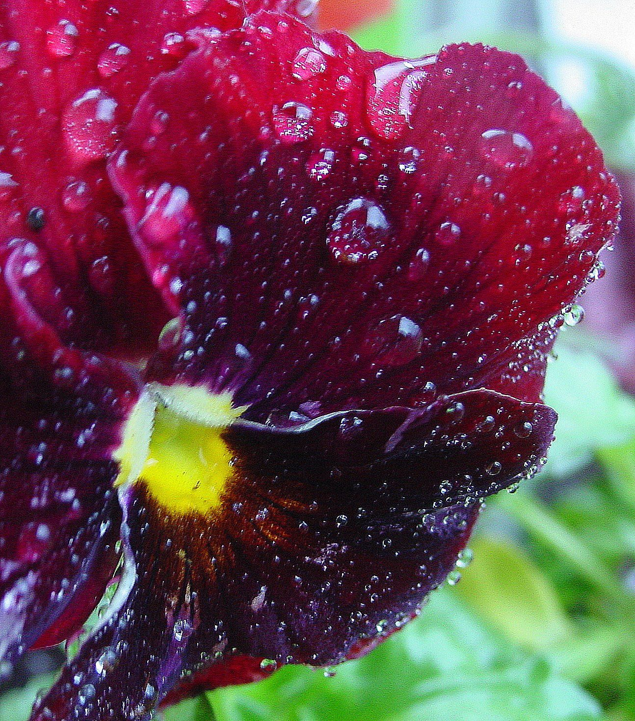 Rain soaked pansy.   I'm reflected in biggest drop.