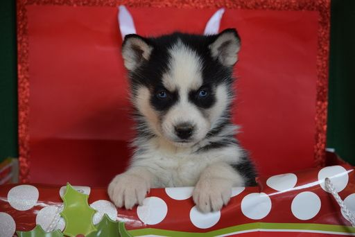 Siberian Husky Puppy For Sale In Fredericksburg Oh Adn 54426 On