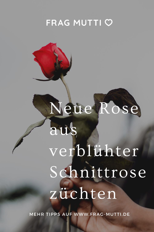 Aus Verblühter Schnittrose Neue Rose Züchten Frag Mutti