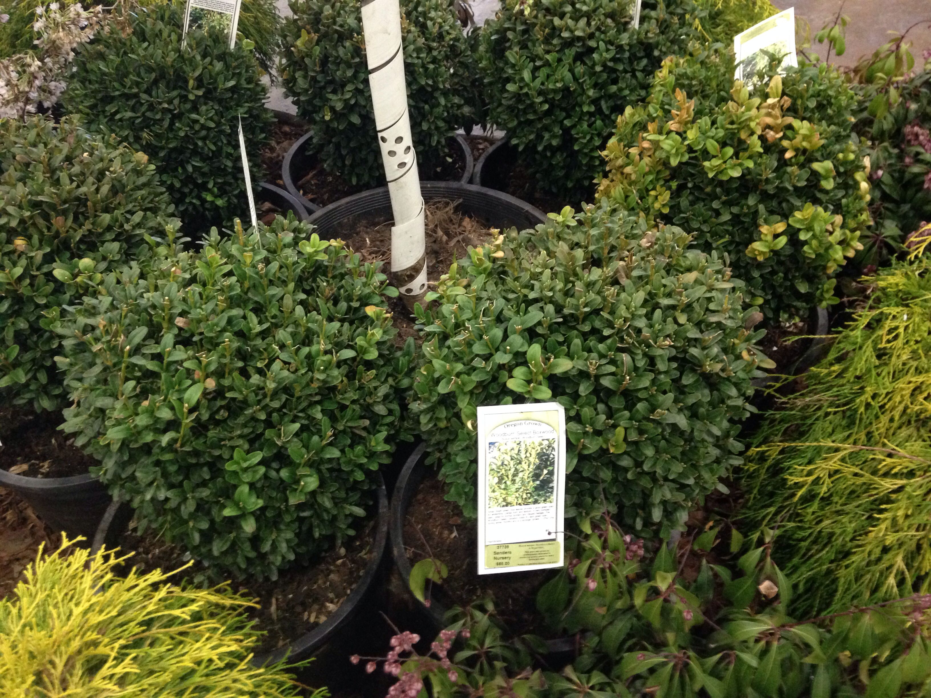 Why Are There Yellow Or Brown Leaves On Boxwood Shrubs Box Wood Shrub Boxwood Landscaping Garden Shrubs
