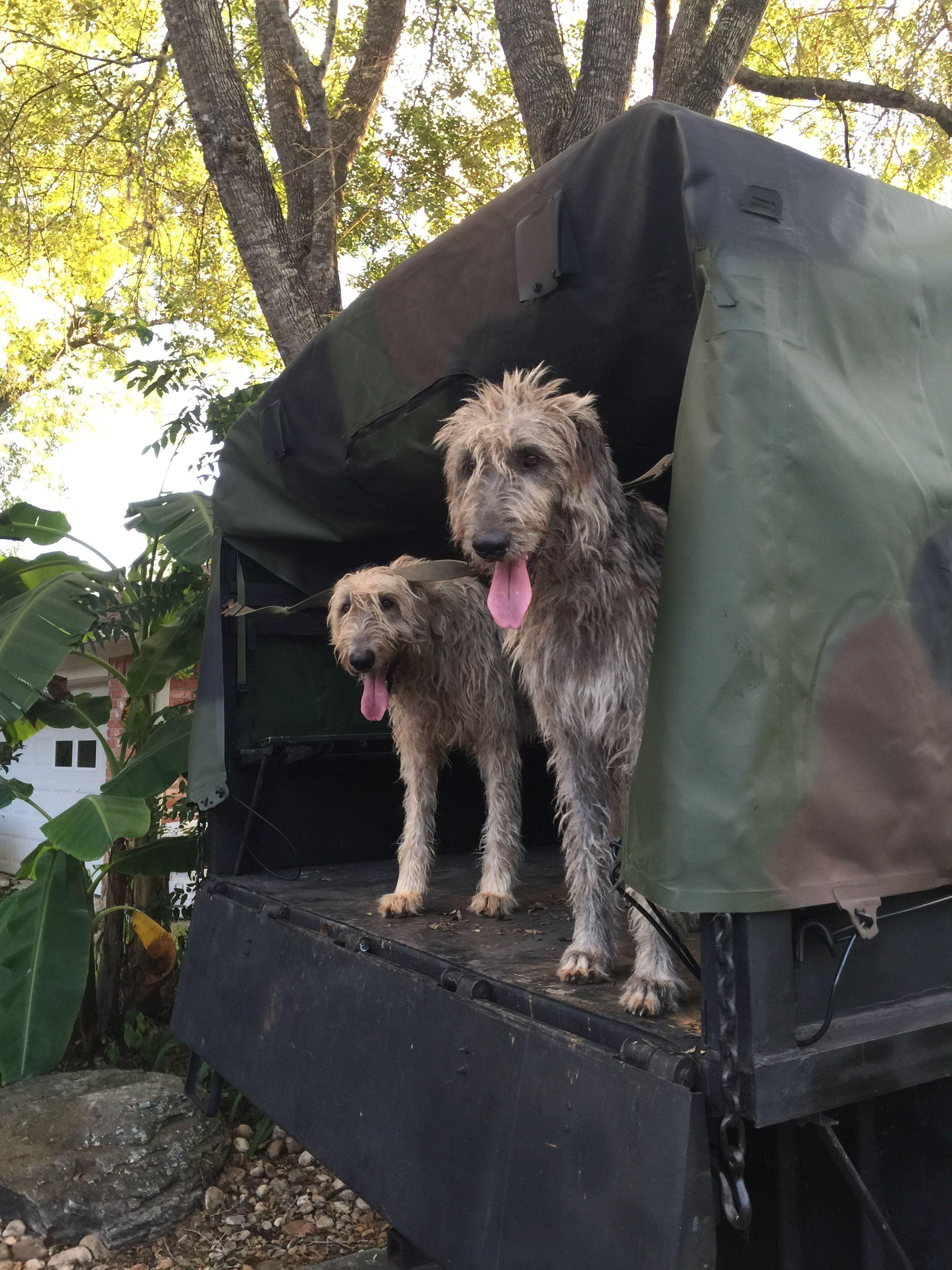 Pin by Jimmy on Texas Irish Wolfhounds Irish