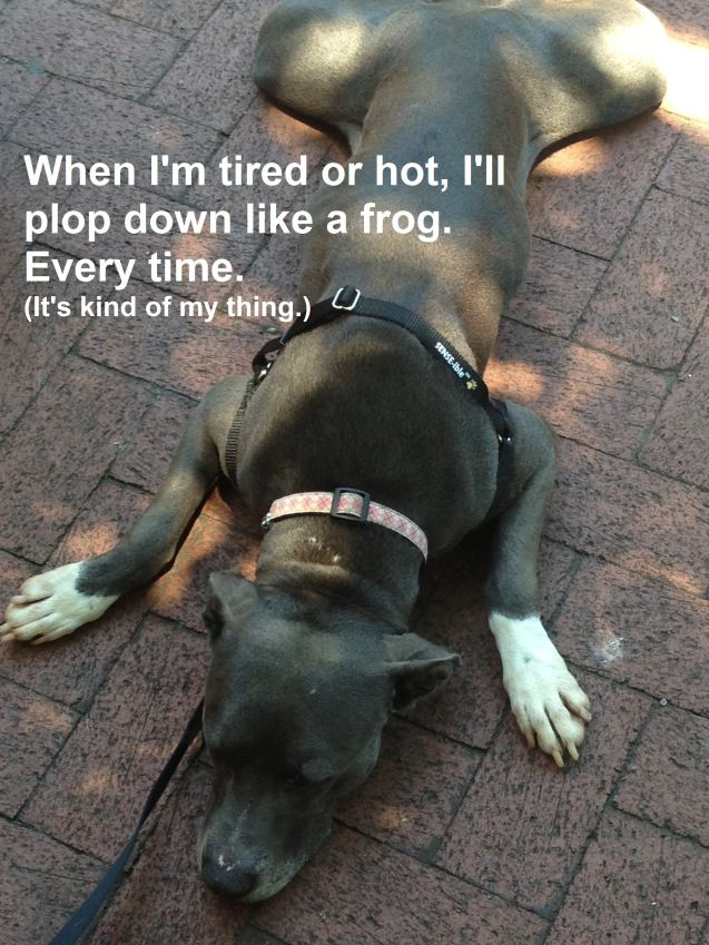 Duchess Is An Extremely Sweet Pittie Mix Available In The