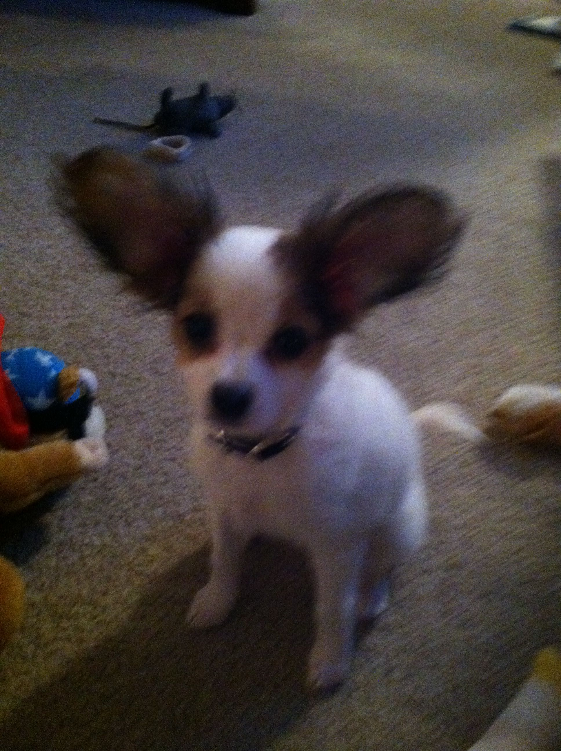 Papihuahua papillion and chihuahua mix puppy doggies pinterest papihuahua papillion and chihuahua mix puppy solutioingenieria Images