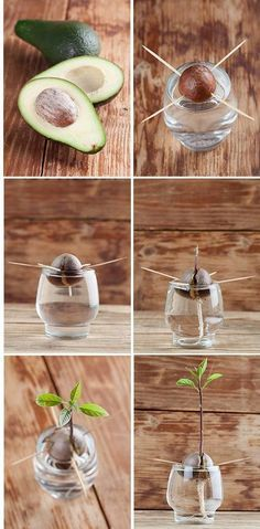 Highly flavored and nutritious, avocados signal a healthy diet, whether we're talking about guacamole or salad. If you like not having to make regular trips to the grocery for your daily supply of fresh avocados, try growing an avocado tree at home. It's surprisingly easy. In 10 easy steps, you will see how you too can get a full-grown avocado tree from a little seed, making the whole process very educational and easy to remember. STEP 1: Without cutting the pit from the avocado, remove an..... #howtogrowplants