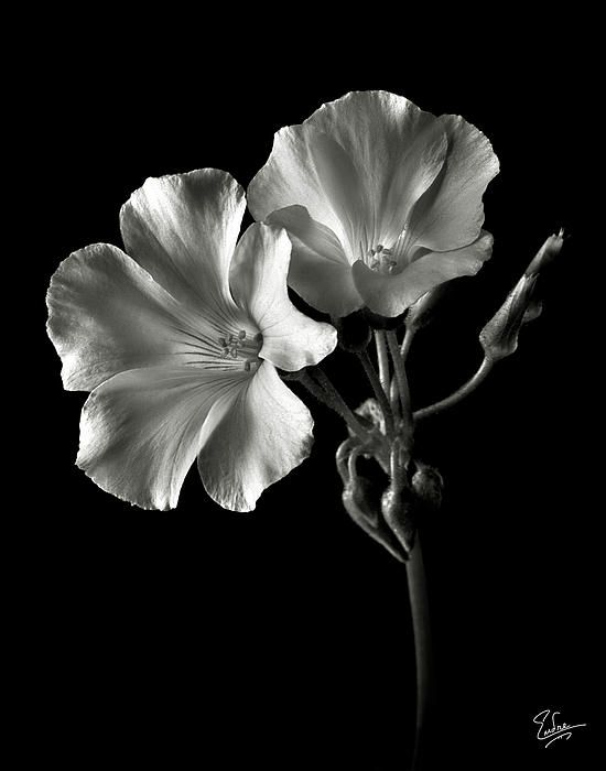 Sour Grass In Black And White By Endre Balogh Black And White Flowers Black And White Photographs Flowers Photography