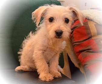 Denver Co Dachshund Cairn Terrier Mix Meet 1030 A Puppy For
