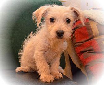 Dachshund Cairn Terrier Mix Puppy Adoption Kitten Adoption