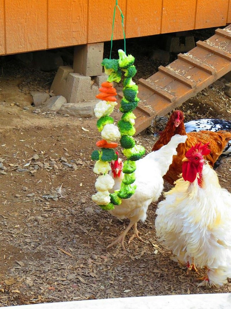 eight healthy homemade treats for your chickens the owner