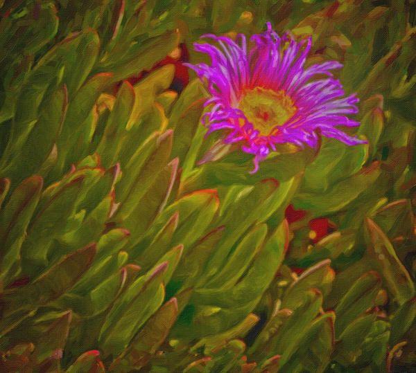 beautiful ice plant, flower, © David Millenheft, beautiful pink, soft, softness, tender, loving, love, gorgeous flowers, pink florals, floral, flora, flowers, decorative, romance, romantic, sweet, ground cover, succulents, purple flower, purple,