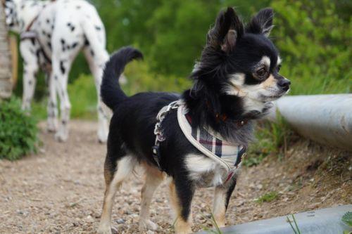 Schoko Chihuahua Langhaar Hunde welpen, Lustige tiere, Tiere