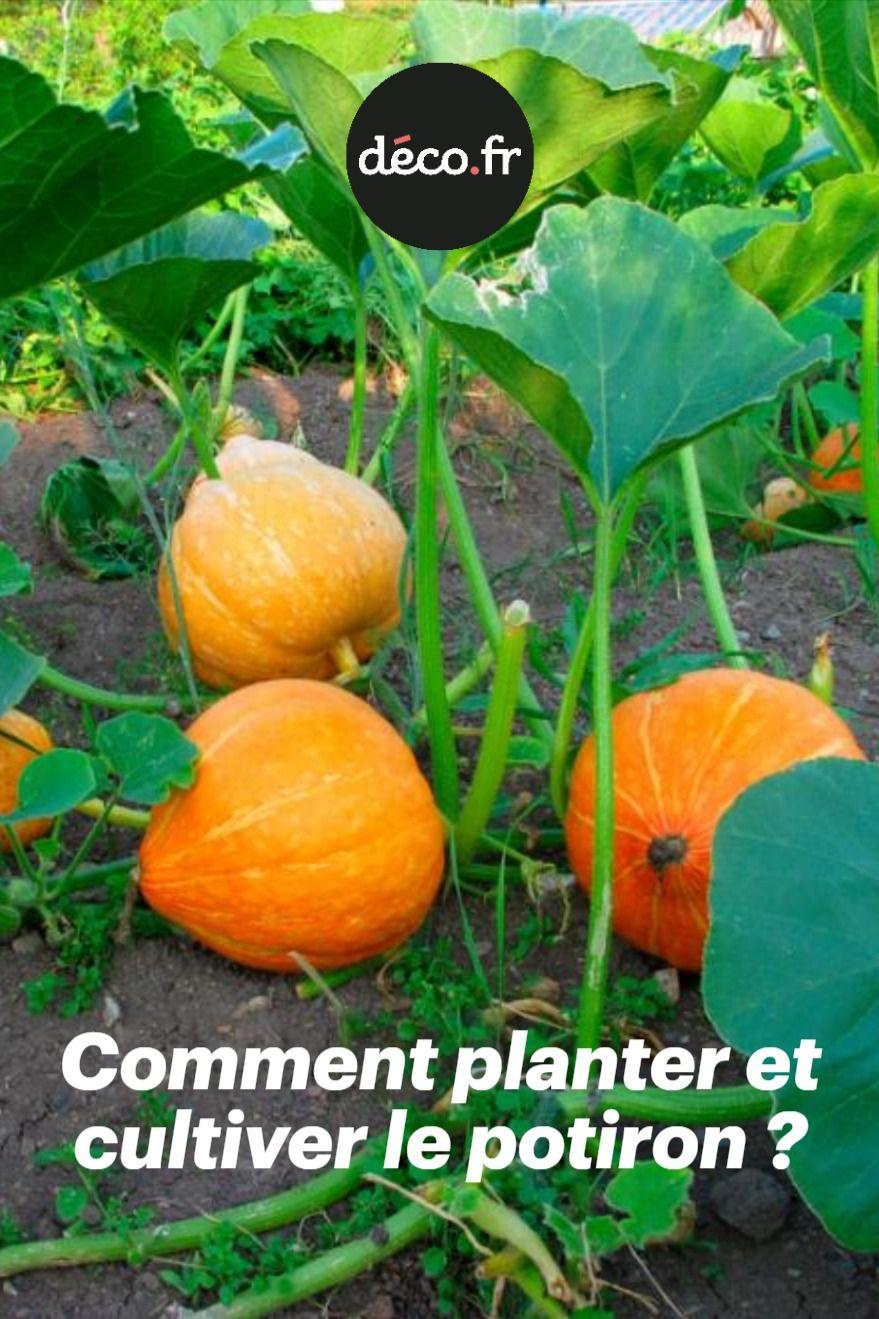 Comment Planter De L Échalote potirons, giraumons, potimarrons : ces curcubitacées font