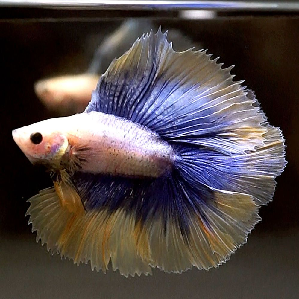 Live Betta Fish Beautiful Inner Blue Outer Mustard Double Tail Full Moon Pet Supplies Fish Aquariums Live Fish Ebay