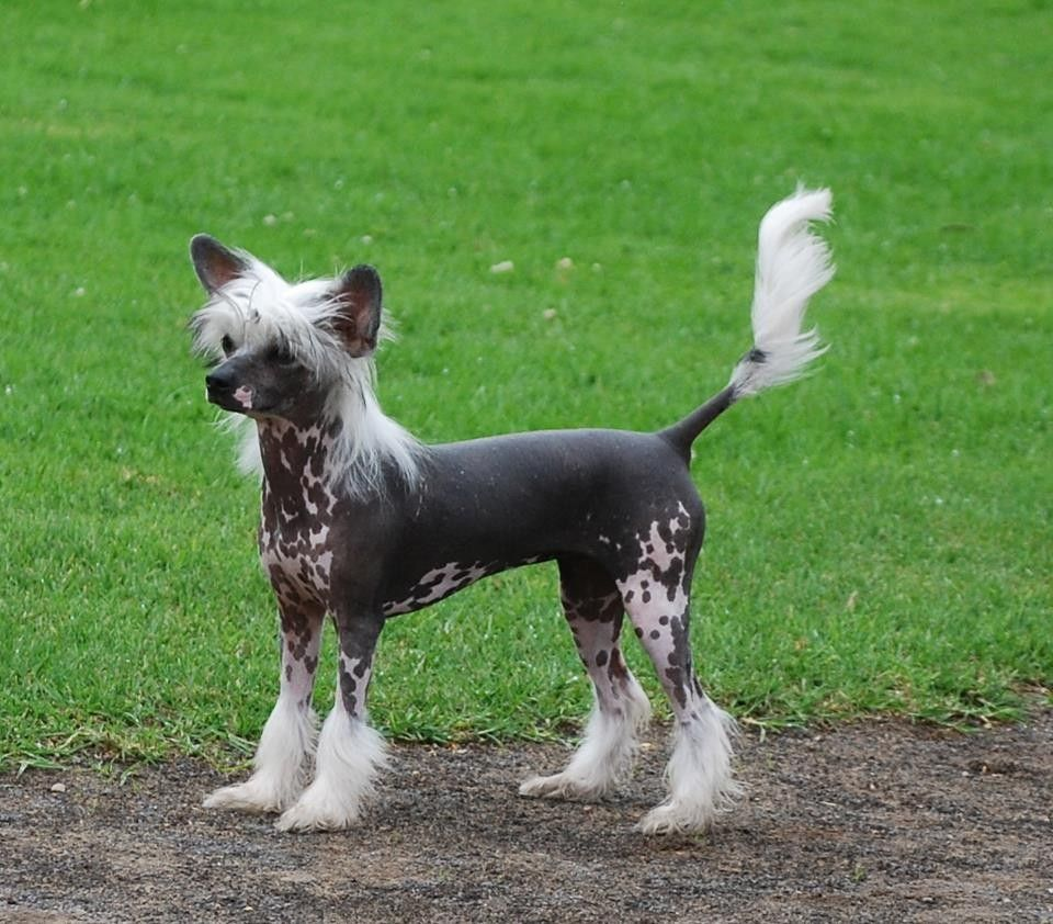 chinese hairless crested Chinese Crested Dog For Sale