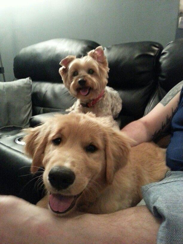 Toby And Hunter Yorkie Golden Retriever Retriever Puppy Dog Cat Cute Animals