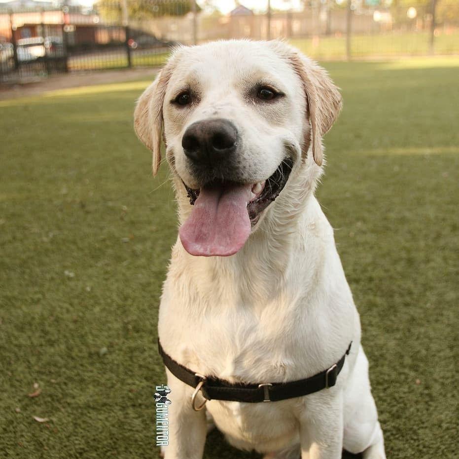 Riggins Labrador Retriever 1 5 Y O Little Italy Dog Park