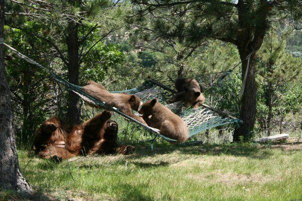 Bears On L L Bean Hammock Woodland Creatures